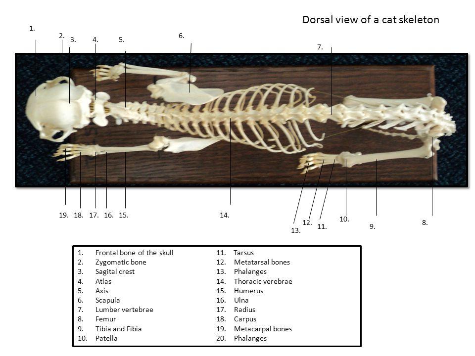Dorsal view of a cat skeleton 1. 2. 4.3.5. 7. 8. 6. 10. 9.11. 12. 13. 14.15. 1.Frontal bone of the skull 2.Zygomatic bone 3.Sagital crest 4.Atlas 5.Ax