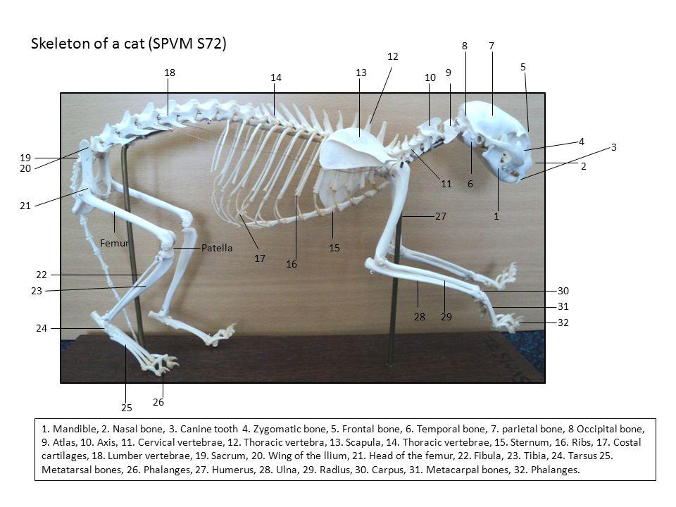 Skeleton of a cat (SPVM S72) 1 2 3 4 5 6 78 9 10 11 12 13 14 15 16 17 18 19 20 21 22 23 24 25 26 27 2829 30 31 1. Mandible, 2. Nasal bone, 3. Canine t