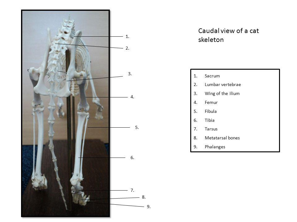 Caudal view of a cat skeleton 1. 2. 3. 4. 5. 6. 7. 8. 1.Sacrum 2.Lumbar vertebrae 3.Wing of the ilium 4.Femur 5.Fibula 6.Tibia 7.Tarsus 8.Metatarsal b