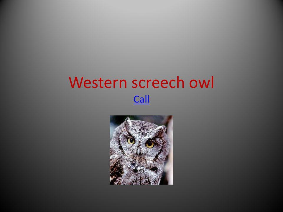 Western screech owl Call Call
