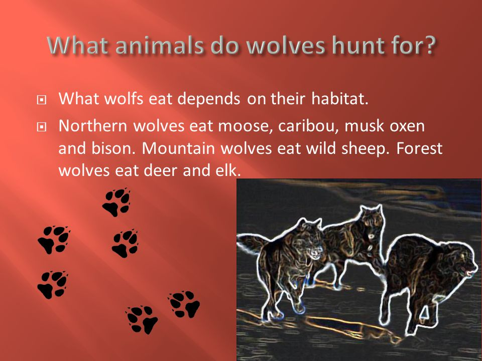  Living in the wilderness wolves have to compete with other wolves to get food and territory.