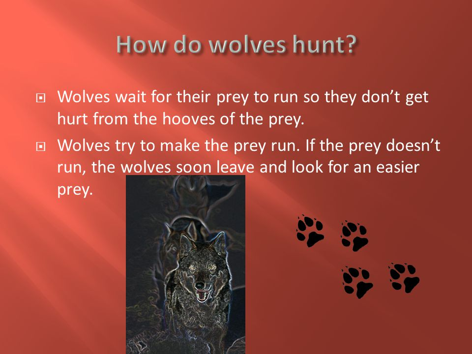  Wolves wait for their prey to run so they don't get hurt from the hooves of the prey.