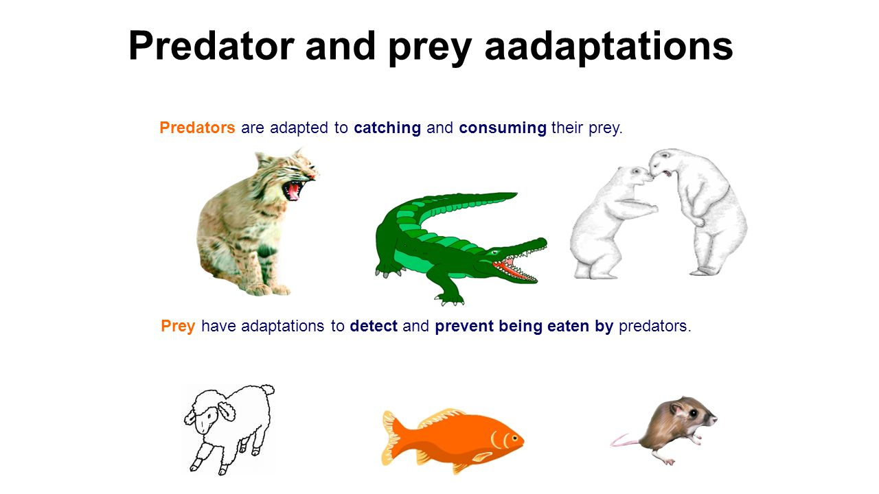 Predators are adapted to catching and consuming their prey. Predator and prey aadaptations Prey have adaptations to detect and prevent being eaten by