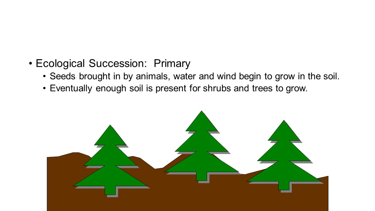 Ecological Succession: Primary Seeds brought in by animals, water and wind begin to grow in the soil. Eventually enough soil is present for shrubs and
