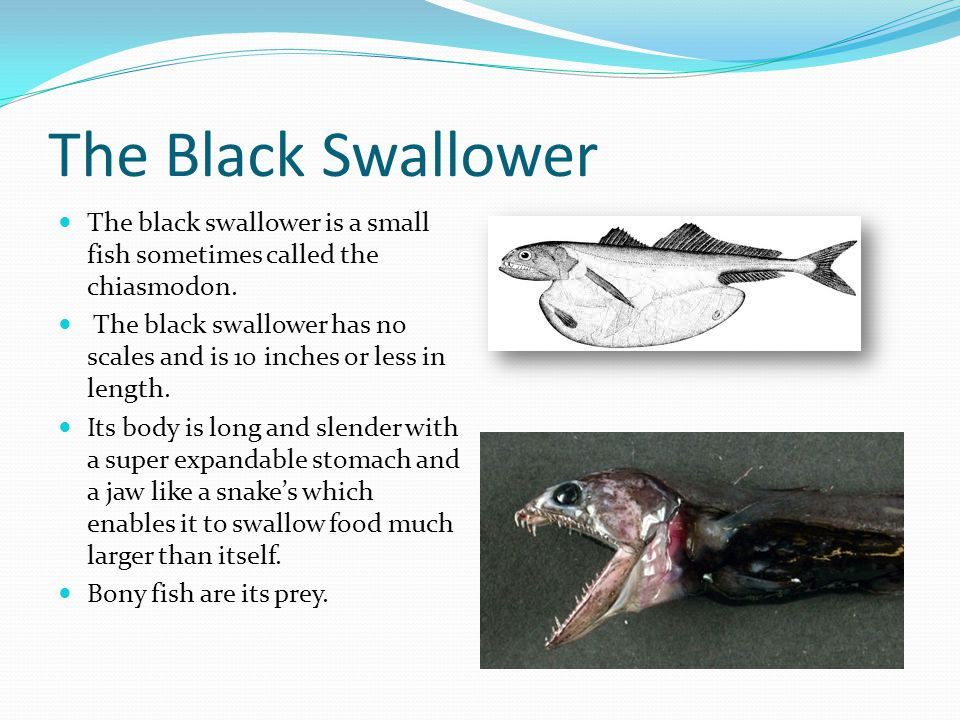 The Black Swallower The black swallower is a small fish sometimes called the chiasmodon.