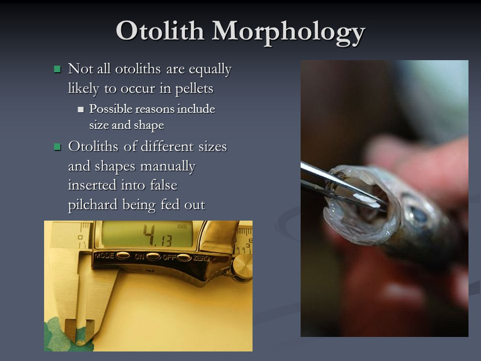 Otolith Morphology Not all otoliths are equally likely to occur in pellets Not all otoliths are equally likely to occur in pellets Possible reasons include size and shape Possible reasons include size and shape Otoliths of different sizes and shapes manually inserted into false pilchard being fed out Otoliths of different sizes and shapes manually inserted into false pilchard being fed out