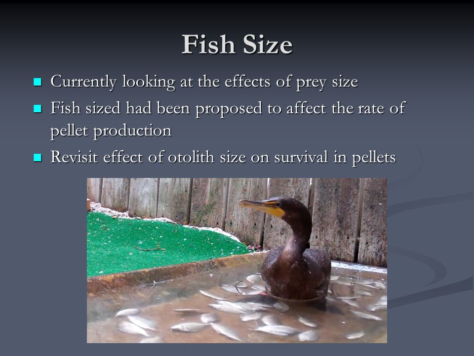 Fish Size Currently looking at the effects of prey size Currently looking at the effects of prey size Fish sized had been proposed to affect the rate