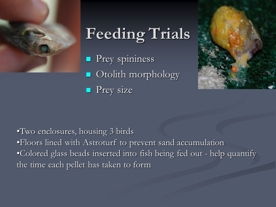 Feeding Trials Prey spininess Otolith morphology Prey size Two enclosures, housing 3 birdsTwo enclosures, housing 3 birds Floors lined with Astroturf to prevent sand accumulationFloors lined with Astroturf to prevent sand accumulation Colored glass beads inserted into fish being fed out - help quantify the time each pellet has taken to formColored glass beads inserted into fish being fed out - help quantify the time each pellet has taken to form