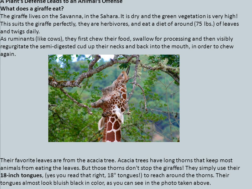 A Plant's Defense Leads to an Animal's Offense What does a giraffe eat.