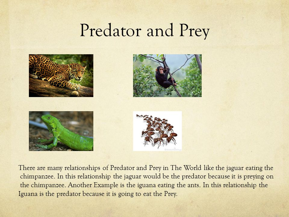 Predator and Prey There are many relationships of Predator and Prey in The World like the jaguar eating the chimpanzee. In this relationship the jagua