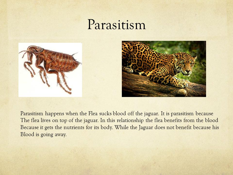Parasitism Parasitism happens when the Flea sucks blood off the jaguar. It is parasitism because The flea lives on top of the jaguar. In this relation
