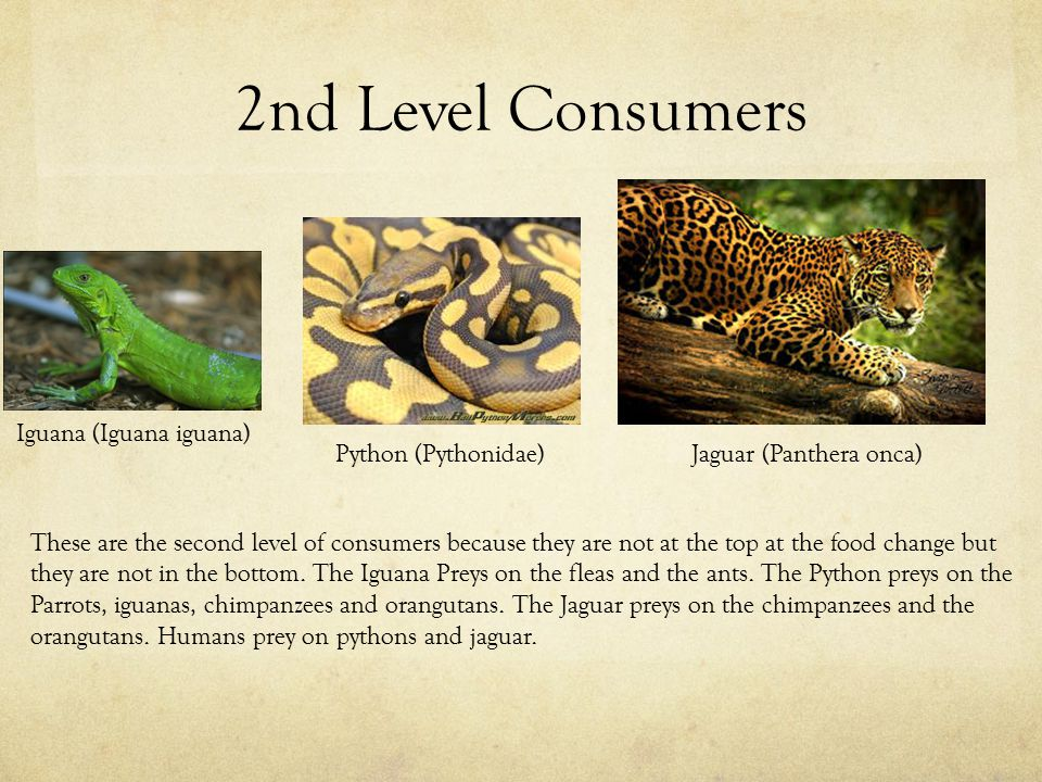 2nd Level Consumers Iguana (Iguana iguana) Python (Pythonidae)Jaguar (Panthera onca) These are the second level of consumers because they are not at the top at the food change but they are not in the bottom.