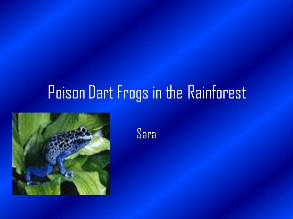 Poison Dart Frogs in the Rainforest Sara