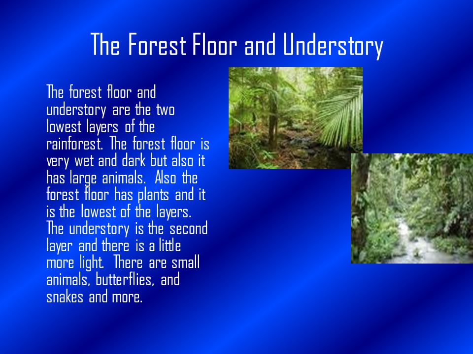 The Forest Floor and Understory The forest floor and understory are the two lowest layers of the rainforest.