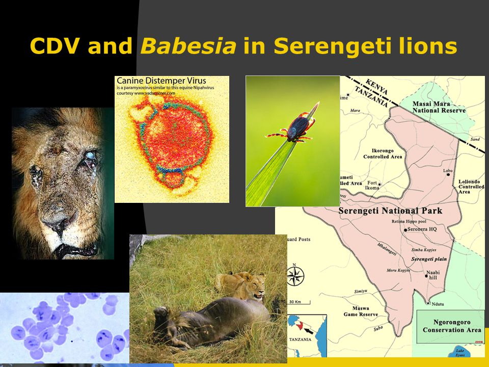 CDV and Babesia in Serengeti lions