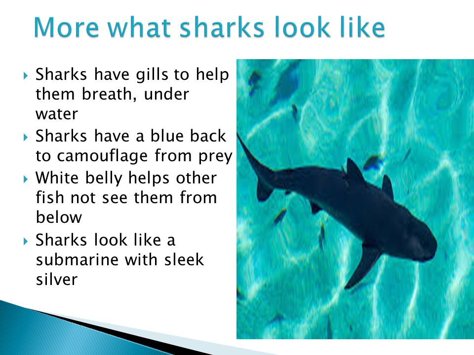  Sharks have gills to help them breath, under water  Sharks have a blue back to camouflage from prey  White belly helps other fish not see them fro