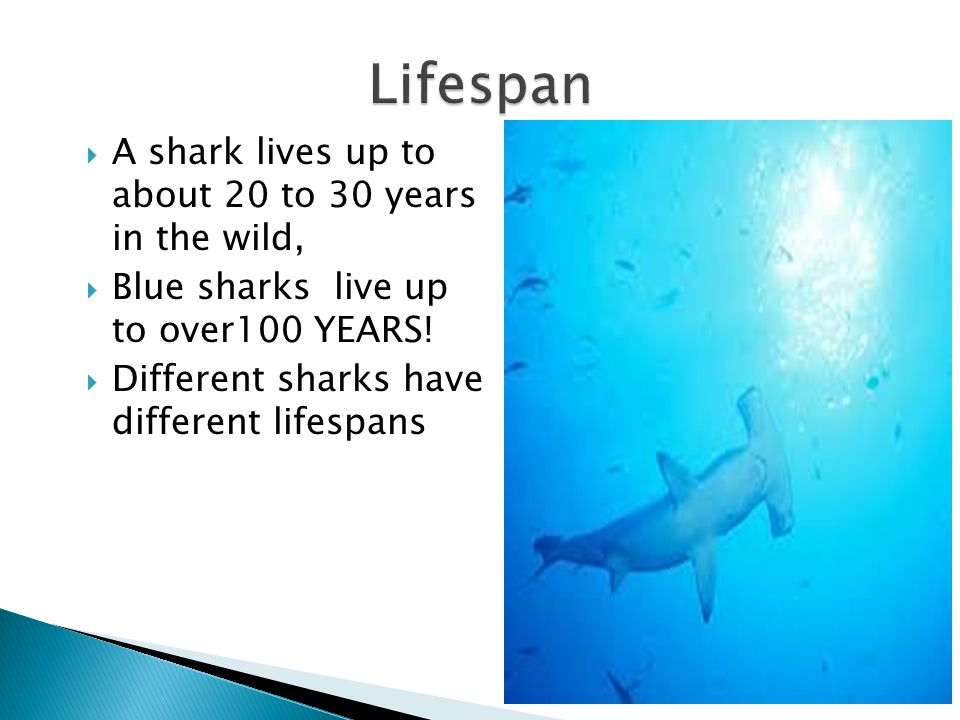  A shark lives up to about 20 to 30 years in the wild,  Blue sharks live up to over100 YEARS!  Different sharks have different lifespans