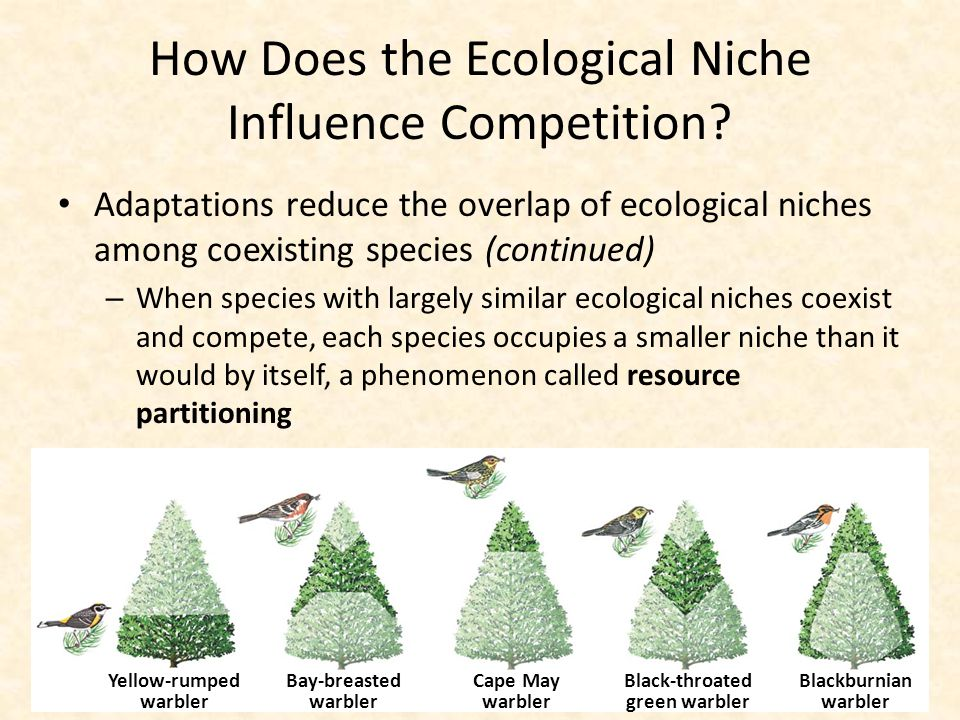 How Does the Ecological Niche Influence Competition? Adaptations reduce the overlap of ecological niches among coexisting species (continued) – When s