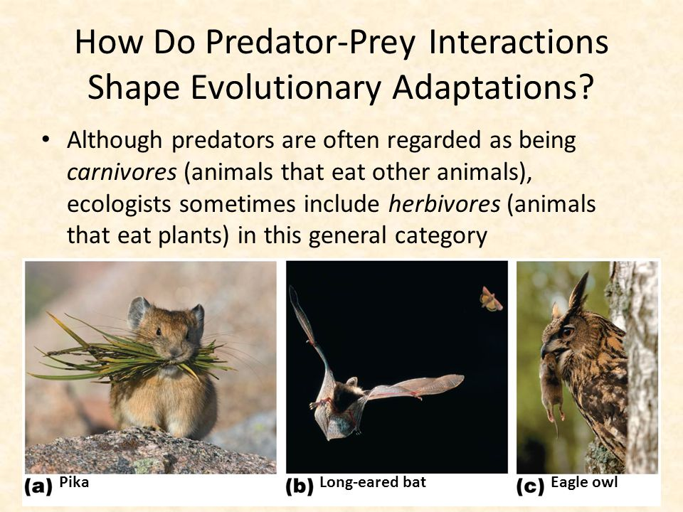 How Do Predator-Prey Interactions Shape Evolutionary Adaptations? Although predators are often regarded as being carnivores (animals that eat other an
