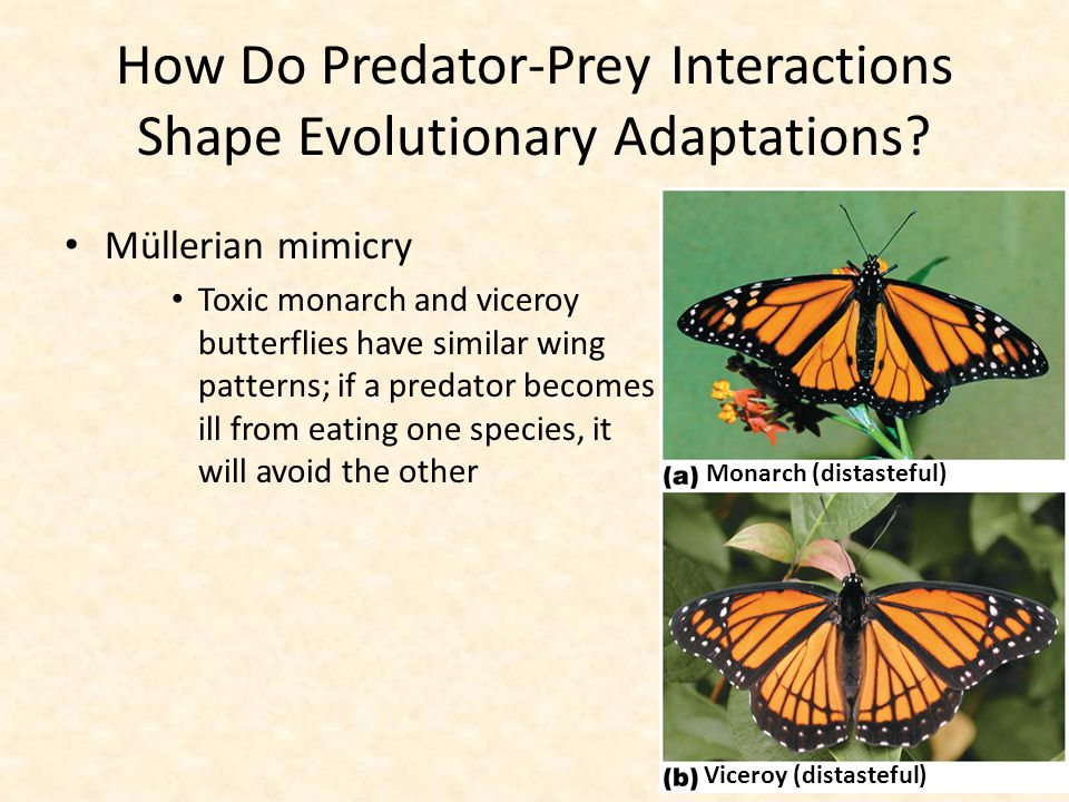 How Do Predator-Prey Interactions Shape Evolutionary Adaptations? Müllerian mimicry Toxic monarch and viceroy butterflies have similar wing patterns;