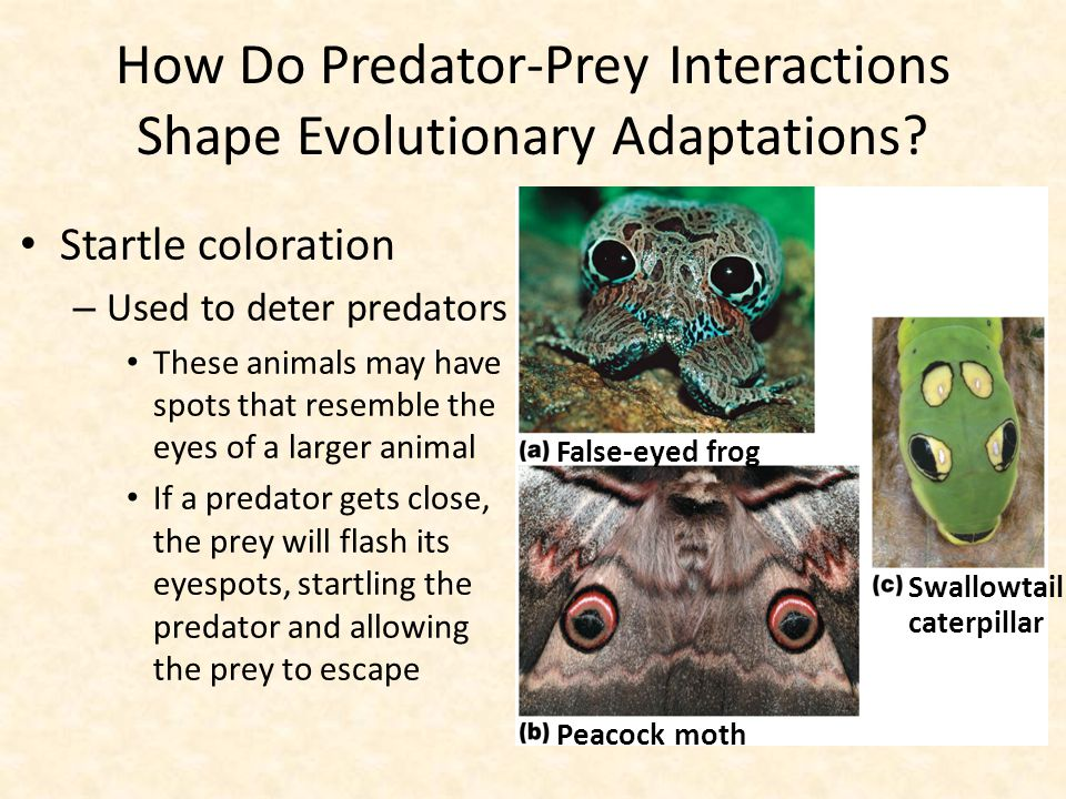 How Do Predator-Prey Interactions Shape Evolutionary Adaptations? Startle coloration – Used to deter predators These animals may have spots that resem
