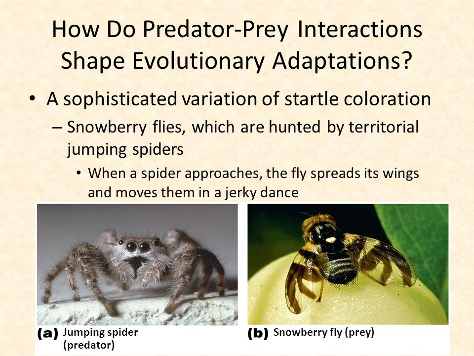 How Do Predator-Prey Interactions Shape Evolutionary Adaptations? A sophisticated variation of startle coloration – Snowberry flies, which are hunted