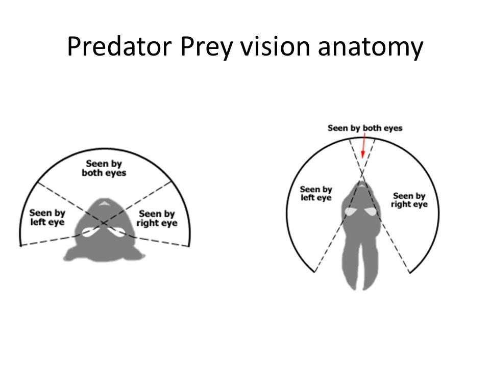 Predator Prey vision anatomy