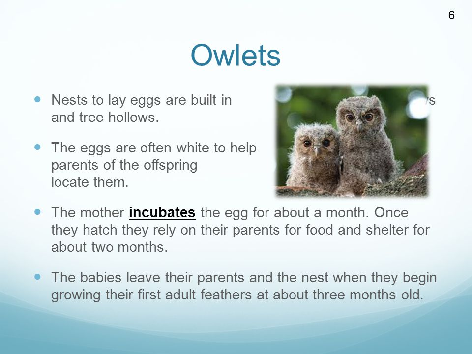 Owlets Nests to lay eggs are built in dark burrows and tree hollows. The eggs are often white to help the parents of the offspring locate them. The mo