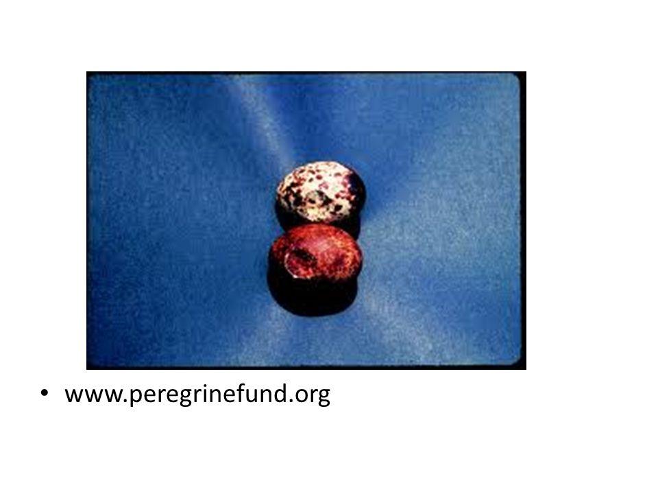 www.peregrinefund.org