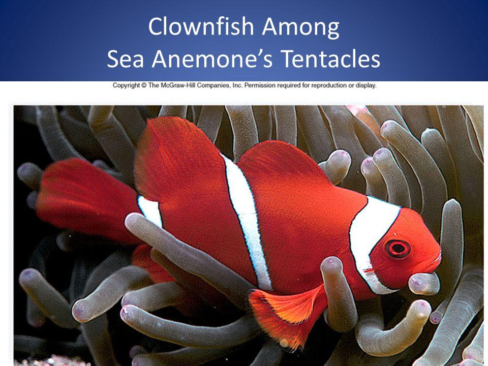 27 Clownfish Among Sea Anemone's Tentacles
