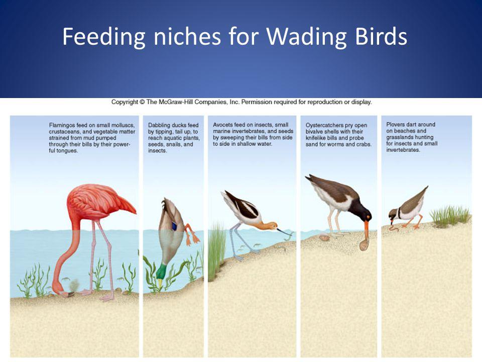 9 Feeding niches for Wading Birds