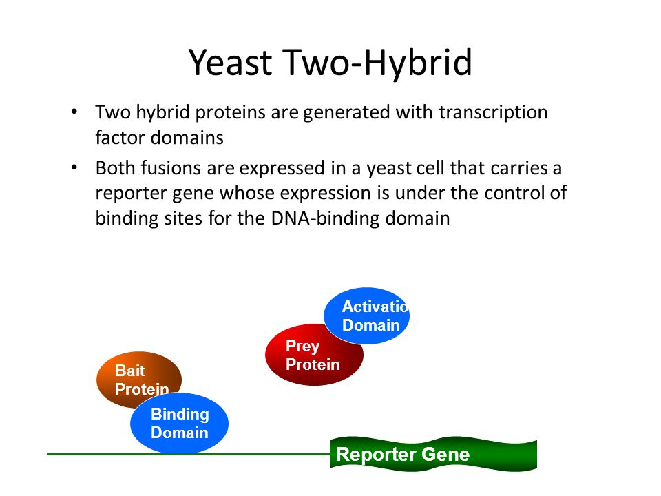 Yeast Two-Hybrid Two hybrid proteins are generated with transcription factor domains Both fusions are expressed in a yeast cell that carries a reporter gene whose expression is under the control of binding sites for the DNA-binding domain Reporter Gene Bait Protein Binding Domain Prey Protein Activation Domain