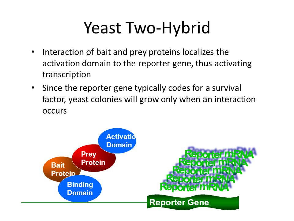 Yeast Two-Hybrid Interaction of bait and prey proteins localizes the activation domain to the reporter gene, thus activating transcription Since the reporter gene typically codes for a survival factor, yeast colonies will grow only when an interaction occurs Reporter Gene Bait Protein Binding Domain Prey Protein Activation Domain