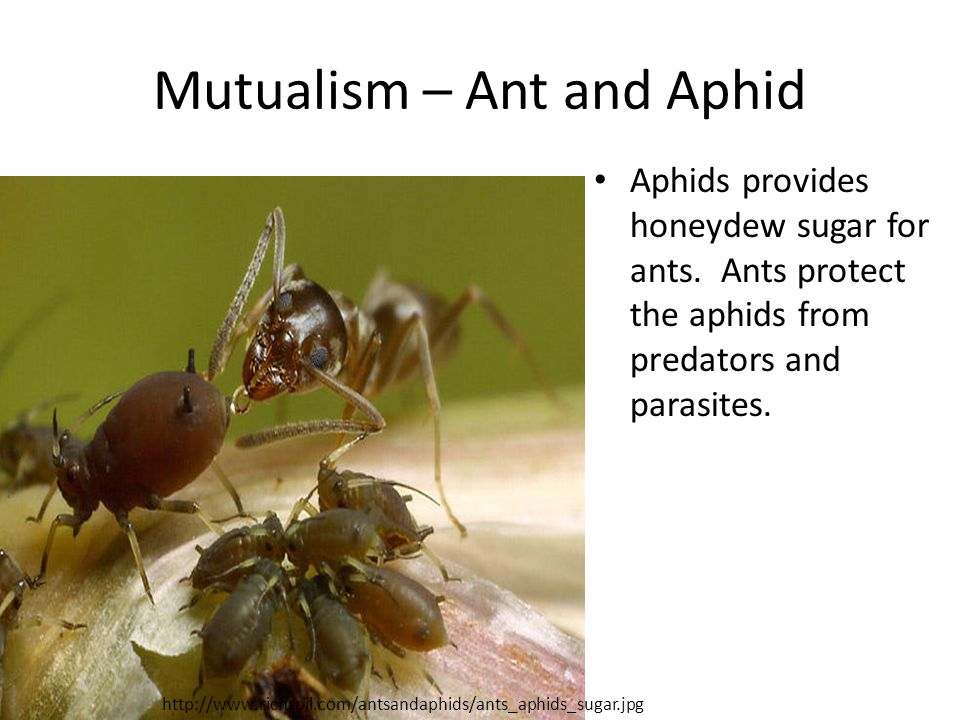 Mutualism – Ant and Aphid Aphids provides honeydew sugar for ants.