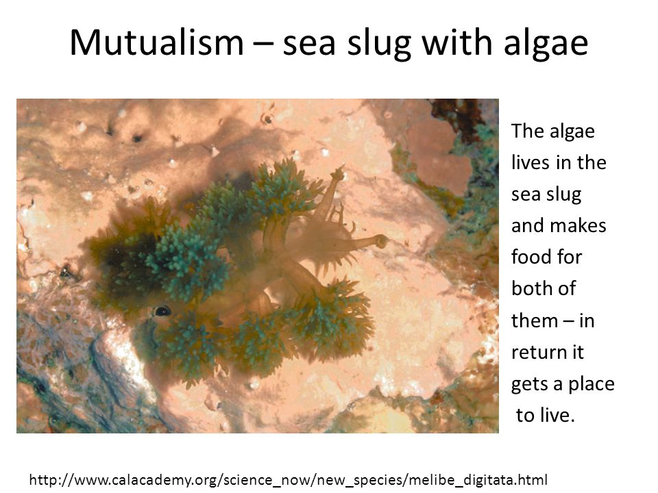 Mutualism – sea slug with algae The algae lives in the sea slug and makes food for both of them – in return it gets a place to live.