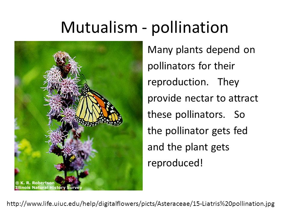 Mutualism - pollination Many plants depend on pollinators for their reproduction.