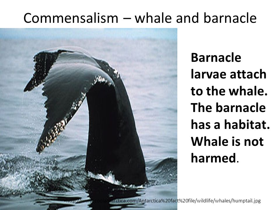 Commensalism – whale and barnacle Barnacle larvae attach to the whale.