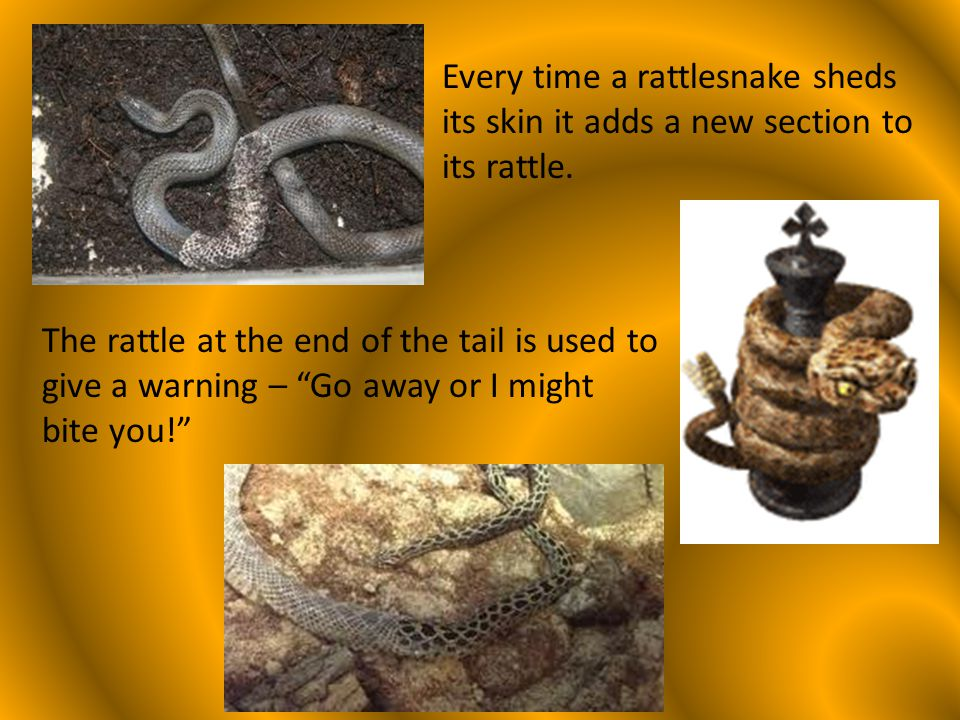 Side winding is a way of moving that is used by only a few types of rattlesnakes that live in the desert.
