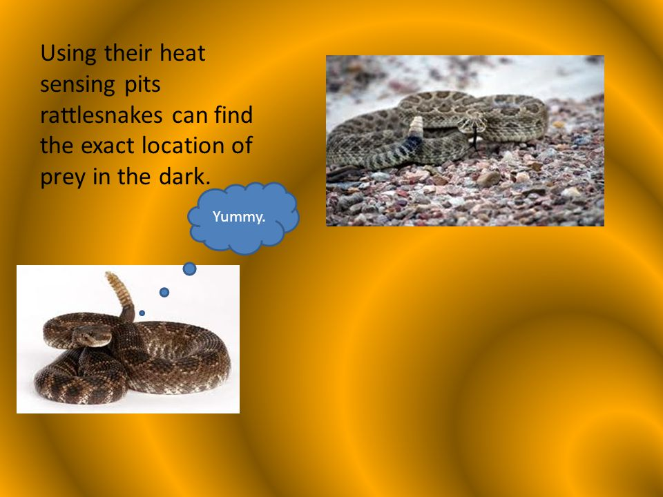 The rattle at the end of the tail is used to give a warning – Go away or I might bite you! Every time a rattlesnake sheds its skin it adds a new section to its rattle.
