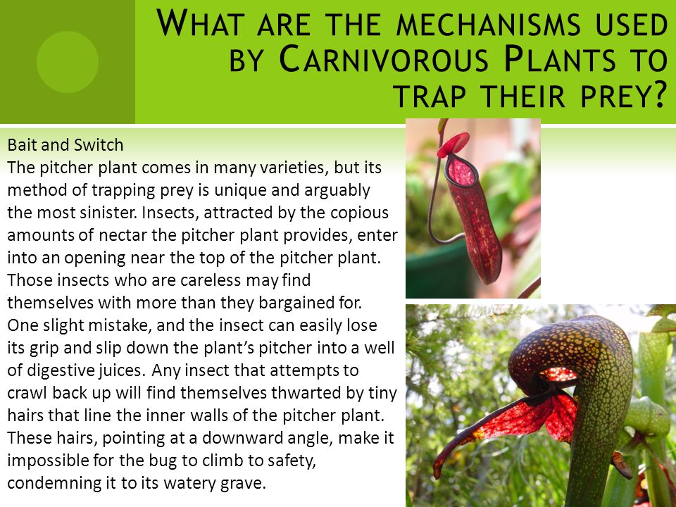 W HAT ARE THE MECHANISMS USED BY C ARNIVOROUS P LANTS TO TRAP THEIR PREY ? Bait and Switch The pitcher plant comes in many varieties, but its method o