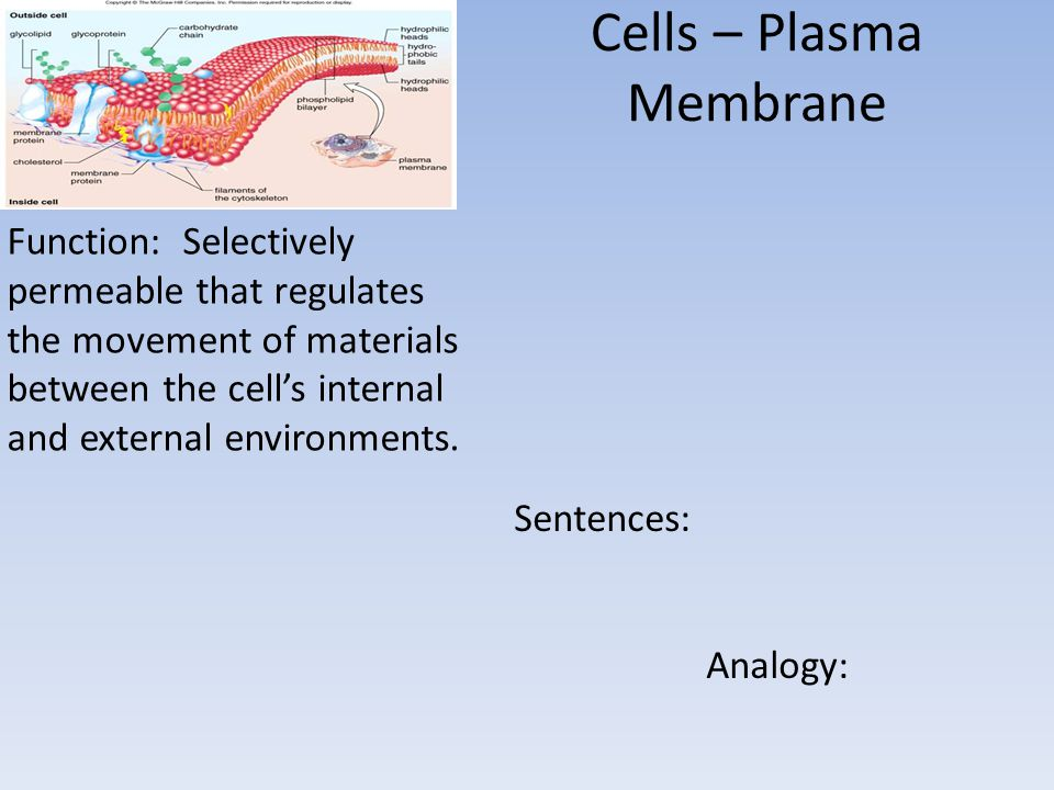 Cells – Plasma Membrane Function: Selectively permeable that regulates the movement of materials between the cell's internal and external environments.