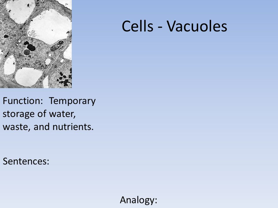 Cells - Vacuoles Function: Temporary storage of water, waste, and nutrients. Sentences: Analogy: