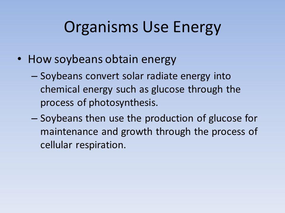 Organisms Use Energy How soybeans obtain energy – Soybeans convert solar radiate energy into chemical energy such as glucose through the process of photosynthesis.