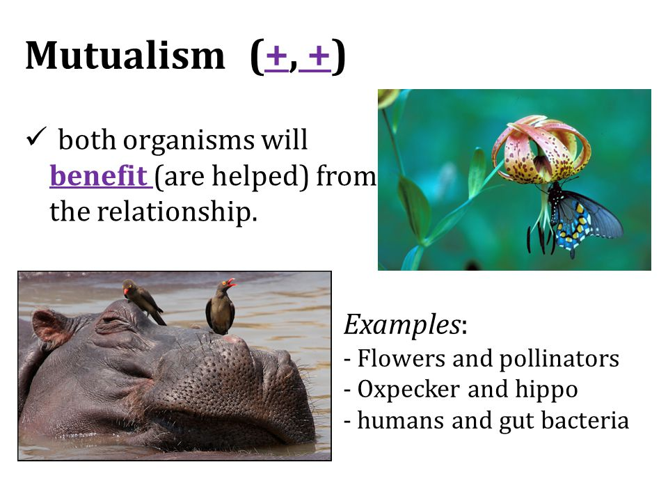 Mutualism both organisms will benefit (are helped) from the relationship. Examples: - Flowers and pollinators - Oxpecker and hippo - humans and gut ba