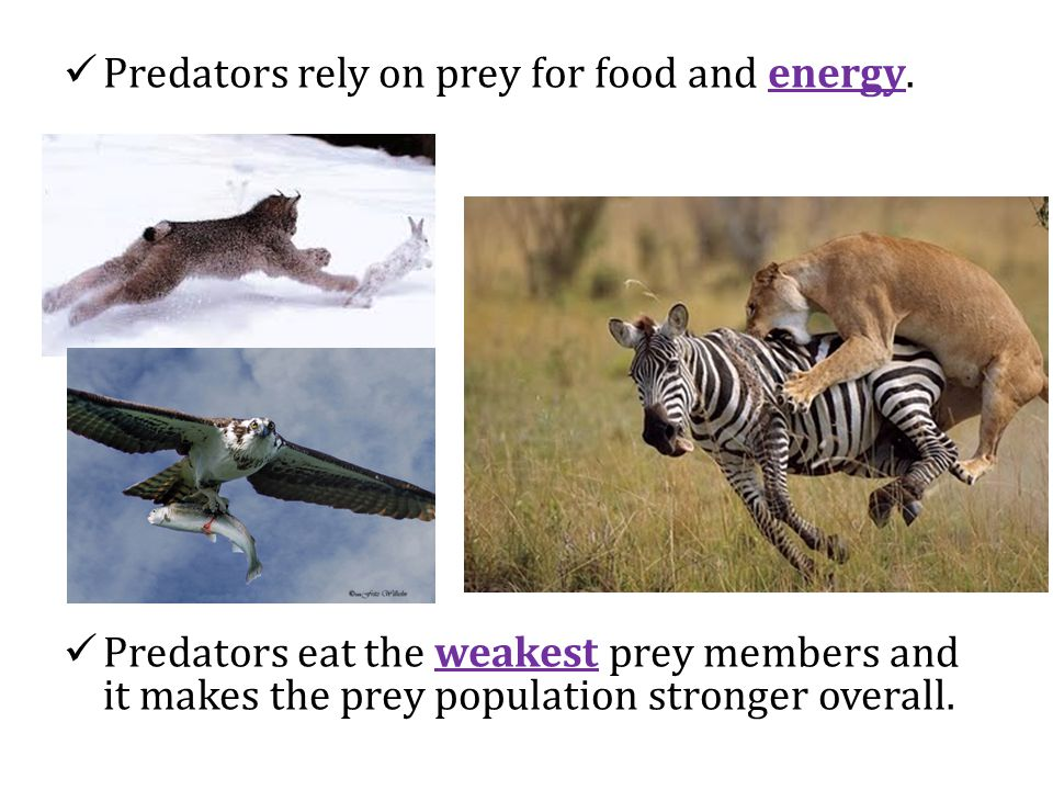 Predators rely on prey for food and energy.