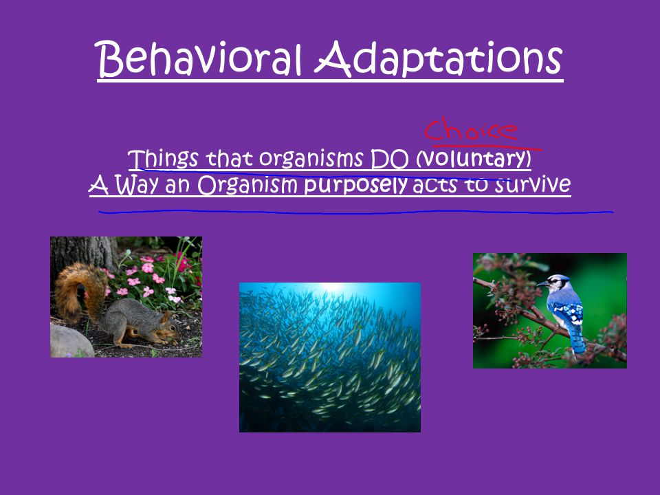 Behavioral Adaptations Things that organisms DO (voluntary) A Way an Organism purposely acts to survive