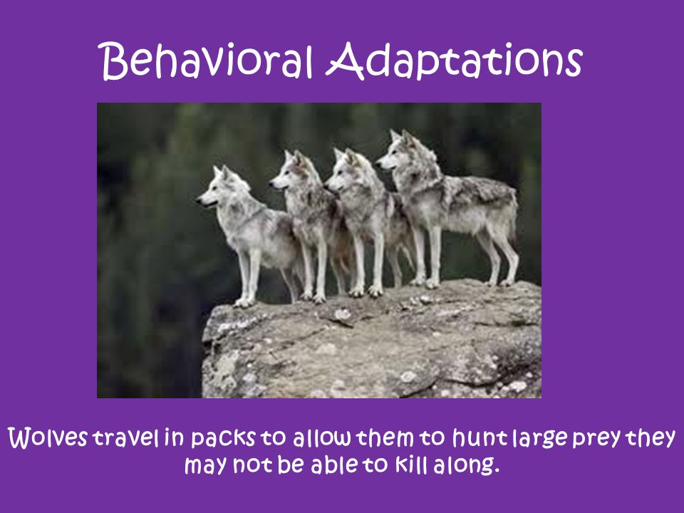 Behavioral Adaptations Wolves travel in packs to allow them to hunt large prey they may not be able to kill along.