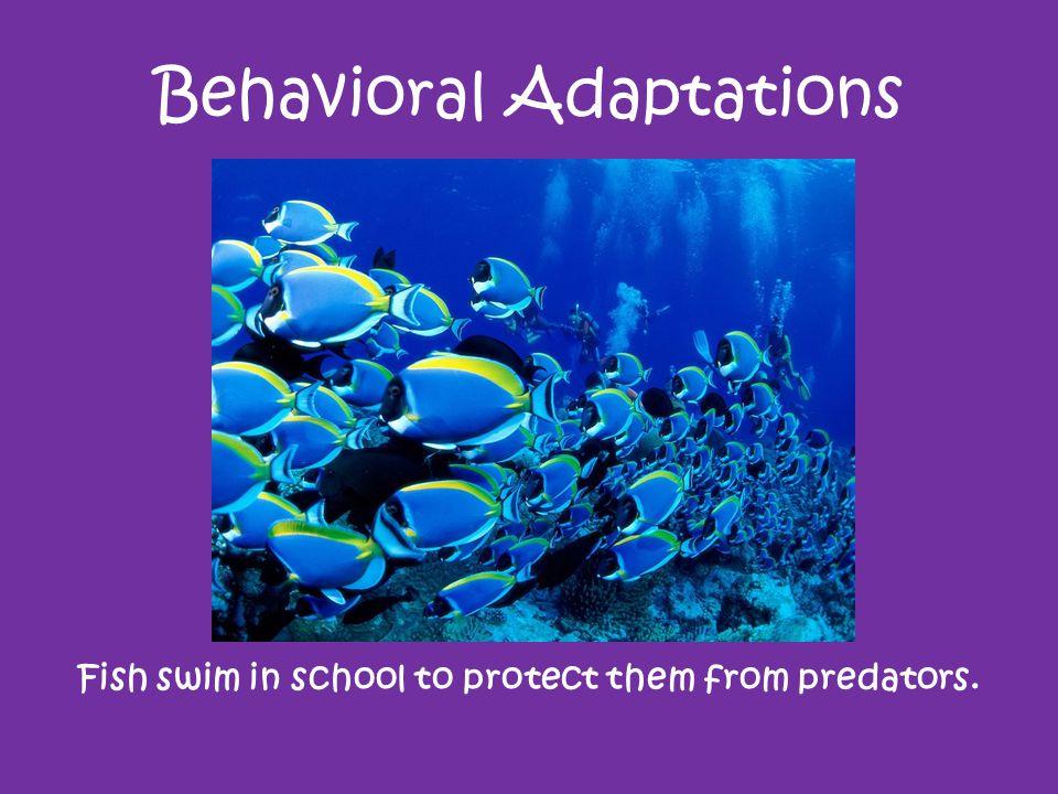 Behavioral Adaptations Fish swim in school to protect them from predators.