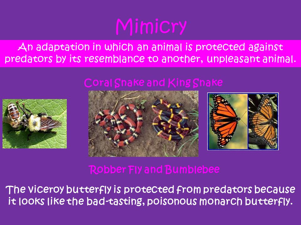 Mimicry An adaptation in which an animal is protected against predators by its resemblance to another, unpleasant animal. The viceroy butterfly is pro