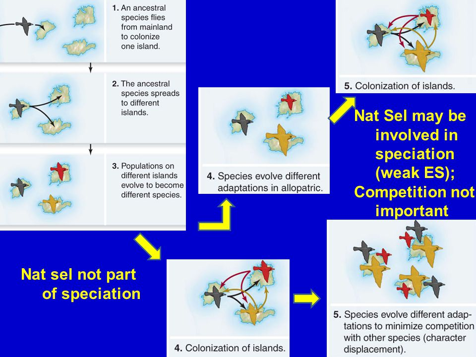 43 Nat Sel may be involved in speciation (weak ES); Competition not important Nat sel not part of speciation